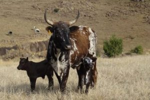 Nguni cow with twins