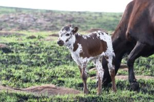 Nguni calf and cow